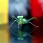 Mantis Disco