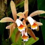 Orquídea II
