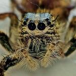 head spider