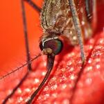 Closeup Mosquito