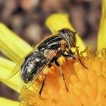 Mosca ou abelha??