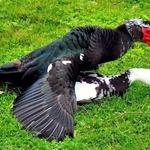 Acasalamento de patos