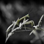 Mantis in Black