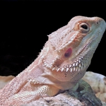 Dragão Barbudo (Pogona vitticeps)
