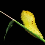 Little yellow caterpillar