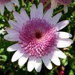 De rosa e branco
