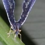 Derbid Planthoper