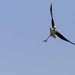 O voo do pernilongo