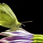 Un beau papillon vert