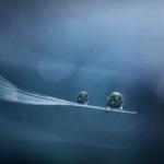 Dew in blue