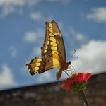 borboleta 26