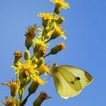 Polinização por borboletas