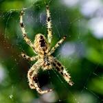 A aranha aguarda refeição