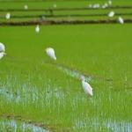 No arrozal