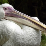 O pelicano