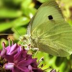 Linda borboleta