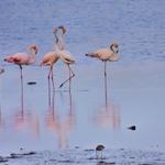 O beijo dos flamingos