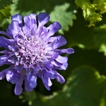 flor lílás
