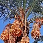 A Palmeira