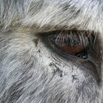 Olho do burro