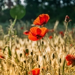 Poppies and the Sun