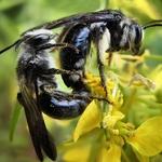 Acasalamento de abelhões azuis