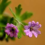 pequenas  flores