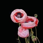 Papoila cor de rosa