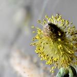 Flor de Salgueiro