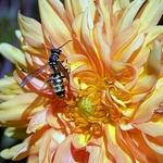 A vespa e a dália