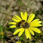 A abelha*