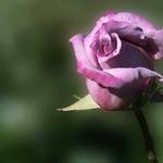 Rosa magenta