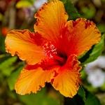 Flores do meu jardim - Hibrisco.