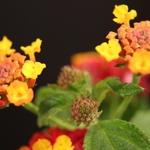Botões, promessa de flores
