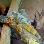 O iguana
