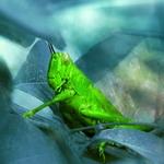 amaknyo belalang