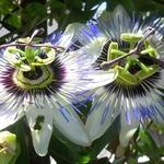 a flor do Maracujá