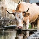 Vaca barrosã matando a sede