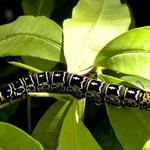 A lagarta