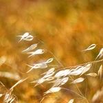 brisa dourada___