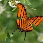 borboleta 30