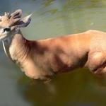 O cervo pantaneiro
