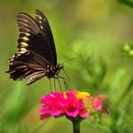 borboleta 31