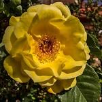 Flores do meu jardim - rosa amarela