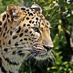 Leopardo pensativo!