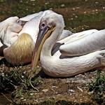 Pelicanos!