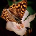 Mais uma borboleta