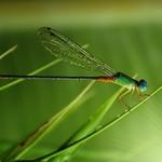 Light Dragonfly