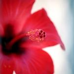 Aparelho reprodutor do hibisco vermelho