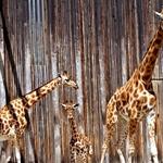 Girafas!